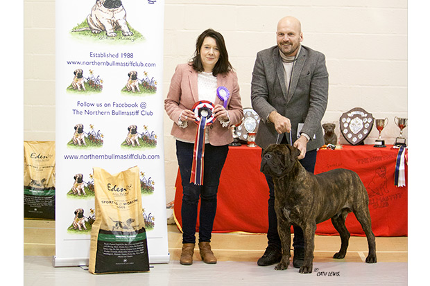 Best In Show Northern Bullmastiff Club Open Show Feb 2020 - Stonegald Dakota